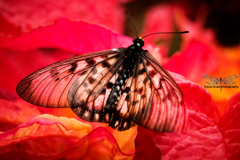 Red Butterfly  - Love or Fear...