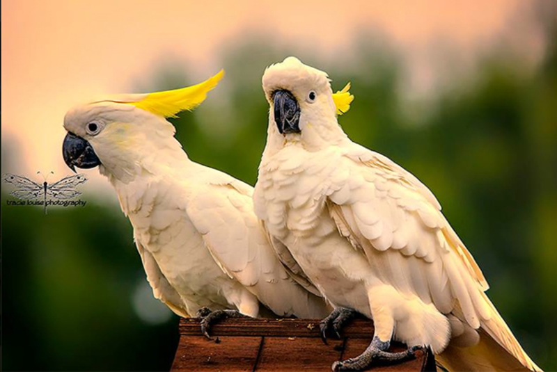 Tracie Louise Photography, cockatoo, Australia,   - Be Part of the Solution...