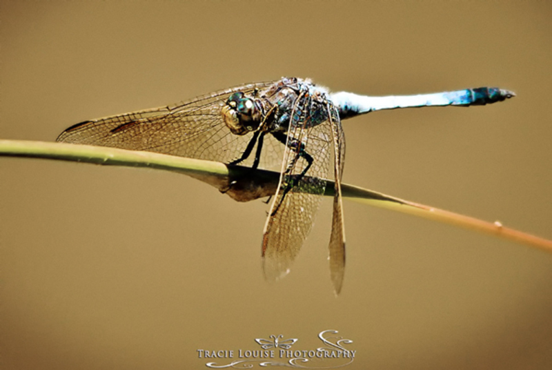 Tracie Louise Photography dragonfly insect religion faith knowledge potential  - Highest and Best...