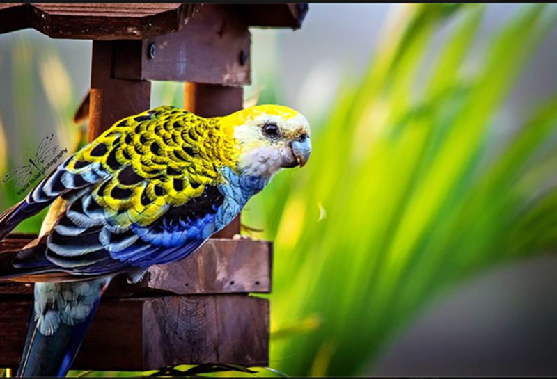 Tracie Louise Photography rosella nature dream career inspiration  - Remembering the Dream...